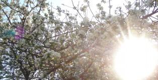 Copac inflorit