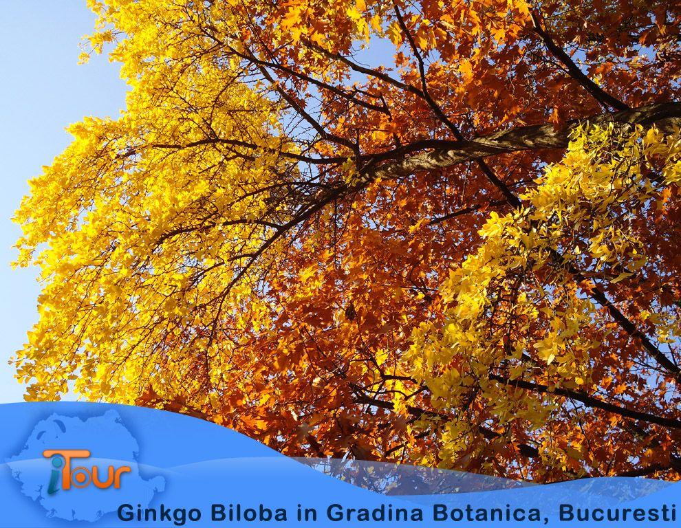 ginkgo-biloba-in-gradina-botanica-bucuresti